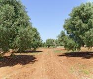 Piantagione con di olivo Immagine Stock