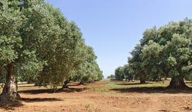 Piantagione con di olivo Immagine Stock Libera da Diritti