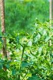 Piantagione degli alberelli dei pomodori Fotografie Stock Libere da Diritti
