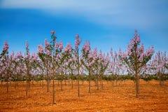 Piantagione degli alberi del Paulownia in Mallorca Fotografia Stock Libera da Diritti