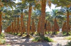 Piantagione degli alberi della palma da datteri Fotografia Stock