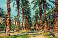 Piantagione degli alberi della palma da datteri Immagine Stock