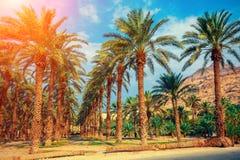 Piantagione degli alberi della palma da datteri Immagini Stock Libere da Diritti