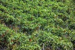 Piantagione dei peperoncini rossi in Corea Fotografie Stock Libere da Diritti