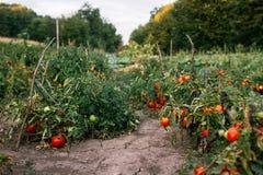 Piantagione dei pomodori organici Immagini Stock