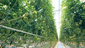 Piantagione dei pomodori verdi in una serra alleggerita video d archivio