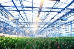 Piantagione dei tulipani Fotografie Stock