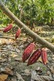Piantagione del cacao, Guayas, Ecuador Fotografia Stock