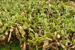 Piantagione del cactus dell'opunzia Immagini Stock Libere da Diritti