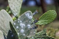 Piantagione del cactus per alzare la cocciniglia fotografia stock libera da diritti