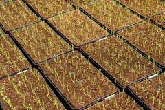 Piantagione del cereale Immagini Stock