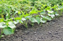 Piantagione del cetriolo nell'orto Fotografia Stock