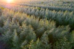 Piantagione del finocchio, scena agricola Fotografia Stock