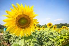 Piantagione del fiore di Sun con cielo blu Fotografia Stock
