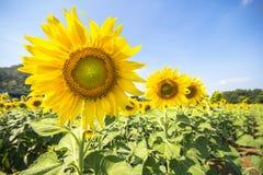 Piantagione del fiore di Sun con cielo blu Immagini Stock Libere da Diritti
