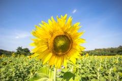 Piantagione del fiore di Sun con cielo blu Fotografie Stock Libere da Diritti