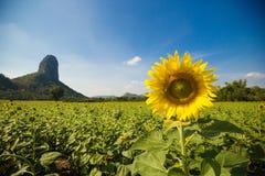 Piantagione del fiore di Sun con cielo blu Fotografia Stock Libera da Diritti