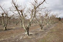 Piantagione del frutteto di frutta nella città Nuova Zelanda di cromwell Immagine Stock