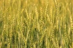 Piantagione del giacimento di grano Fotografia Stock