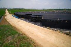 Piantagione del Ginseng Fotografia Stock