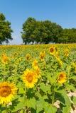 Piantagione del girasole un giorno di estate piacevole Immagini Stock