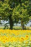 Piantagione del girasole un giorno di estate piacevole Fotografia Stock