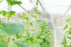 Piantagione del melone in serra Immagine Stock Libera da Diritti