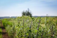 Piantagione del Motherwort Fotografia Stock Libera da Diritti