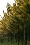 Piantagione del pino Fotografia Stock