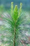 Piantagione del pino Immagine Stock