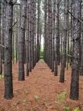 Piantagione del pino Fotografia Stock Libera da Diritti