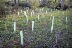 Piantagione del pino Immagini Stock Libere da Diritti