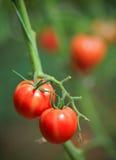 Piantagione del pomodoro Fotografia Stock