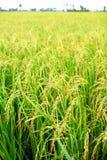 Piantagione del riso Fotografie Stock