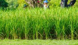 Piantagione del riso - grano verde del prato del campo di agricoltura Immagine Stock