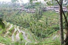Piantagione del riso in Indonesia e case tradizionali fotografia stock libera da diritti