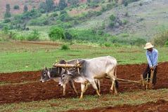 Piantagione del riso in Myanmar Immagini Stock Libere da Diritti