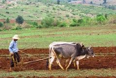 Piantagione del riso in Myanmar Fotografie Stock