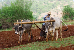 Piantagione del riso in Myanmar Fotografia Stock
