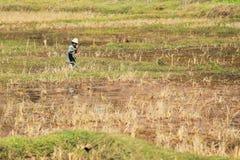 Piantagione del riso nel Madagascar Fotografie Stock Libere da Diritti