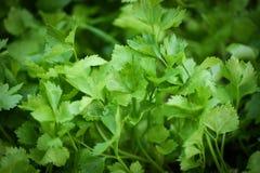 Piantagione del sedano - ortaggio a foglia verde del prezzemolo che cresce nel giardino immagini stock libere da diritti