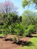 Piantagione del tè del compagno degli alberi nel Sudamerica. Fotografia Stock