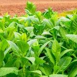 Piantagione del tabacco in Cuba Fotografia Stock