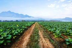Piantagione del tabacco in terreno coltivabile e crescere per il sigaro e la sigaretta fatti immagini stock libere da diritti