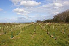 Piantagione del terreno boscoso nei wolds di Yorkshire Fotografia Stock Libera da Diritti