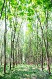 Piantagione dell'albero della gomma Immagine Stock Libera da Diritti