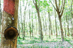 Piantagione dell'albero della gomma Immagine Stock