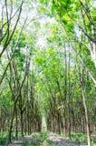Piantagione dell'albero della gomma Fotografia Stock Libera da Diritti