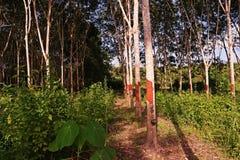 Piantagione dell'albero della gomma, stato dell'erbaccia Fotografie Stock