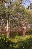 Piantagione dell'albero della gomma, stato dell'erbaccia Immagini Stock Libere da Diritti
